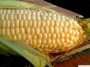 Продам оптом семена гибридов кукурузы