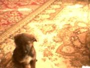 злая собака порода дворняжка