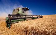 продам зерно пшениці з поля!