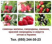 Продам оптом саженцы малины,  смородины,  ежевики,  красной смородины