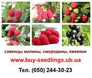 Саджанці малини,  смородини і ожини гуртовий продаж по Україні