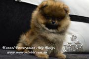 Шикарнейшие мини-щенки померанского шпица SHOW-Classa!!!