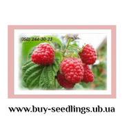 Саджанці малини,  смородини,  ожини,  журавлини,  лохини продаж оптом і вр